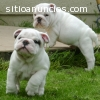 2 cute white english bulldogs