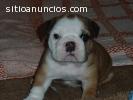 Bulldog Inglés cachorro de buenos hogare