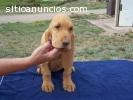 Cachorros de perro de regalo para su apr