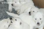 Cachorros Pastor Blanco Suizo