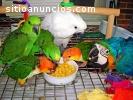 guacamayos, cacatúas, gris africano, hue
