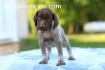 Hermoso regalo de cachorros macho y hemb