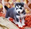 Hermosos cachorros husky siberiano listo