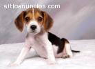 Los cachorros Beagle regalo