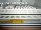 Polluelos Loros y huevos para la venta