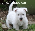 Regalo adorables cachorros West Highland