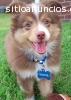 REGALO Dolci cuccioli cane Australian Ca