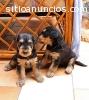 Regalo dulce y hermosos cachorros terrie