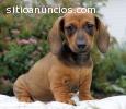 Regalo hermoso Basset Hound cachorros HO