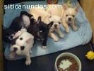 regalo hermosos cachorros bulldog france