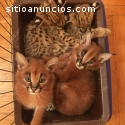 Serval, savannah y caracal gatitos dispo