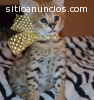 Exotic Cats for Sale