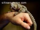 Monos tití de bebé para su adopción.