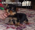 Yorkies Terrier  puppies for adoption