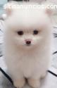 Beautiful male and female Pomeranian