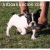 Bulldog Inglés para su aprobación.