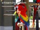 Navidad Aves loro en venta (guacamayo az
