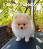 Regalo Cachorros Pomeranian