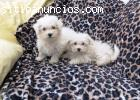 2 filhotes de cachorro de Bichon Frise