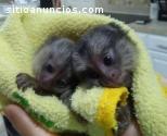 Dois saguis macacos para adoção
