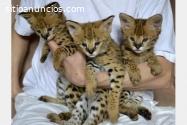 F1 Savannah gatinhos para adoção.