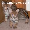 Lindo filhote de gato Bengal y F1 Savann