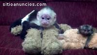 Macacos bem treinados e bebês Chimpanzé