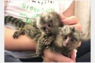 Macacos de sagüi bebê para adoção.