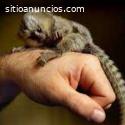 Macacos de sagüi bebê para adoção