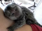 Macacos sagüi Dedo bebê para adoção