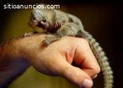 Macacos sagüis bebês para adoção.