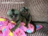 Macacos-Sagui bebê para adoção
