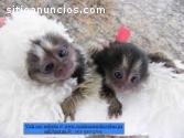 Mono titme pigmeo disponible para adopti