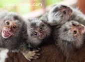 Scimmia di titi maschio e femmina adorab