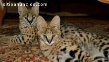 4 hermosos gatitos F1 Savannah disponibl