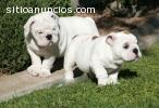 adoptar cachorros bulldog inglés