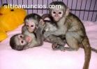 monos y chimpancés (licencia criadores)