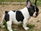 Tres cachorros de bulldog francés para l