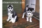 Cachorros husky siberianos ya está dispo