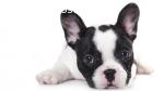 Cachorros de bulldog francés hermosas di