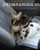 Dar a estos cachorros de bulldog francés