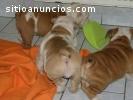 Super Adorable Bulldog inglés cachorros