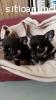 Adorable Chihuahua cachorros Diminuto