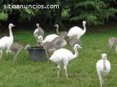 avestruces, emús, nandous y sus huevos