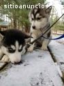 Cachorros de husky siberiano cariñoso