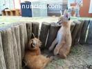 Disponible serval africano, gatito saban