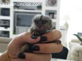 bebé mono tití pigmeo para la venta