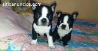 Boston Terrier Cachorritos Disponibles