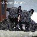 Bulldog Frances Cachoorritos Dispnibles