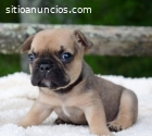 Bulldog Frances  Cachorritos disponibles